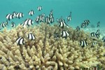 Angel Fish swimming in Coral